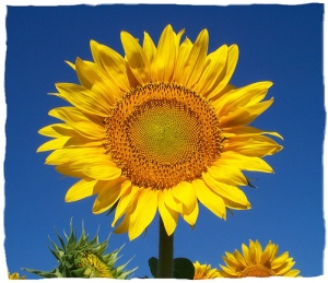 Sunflower in full bloom