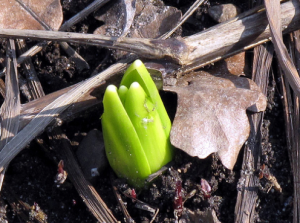Tulip among leaves and dirt